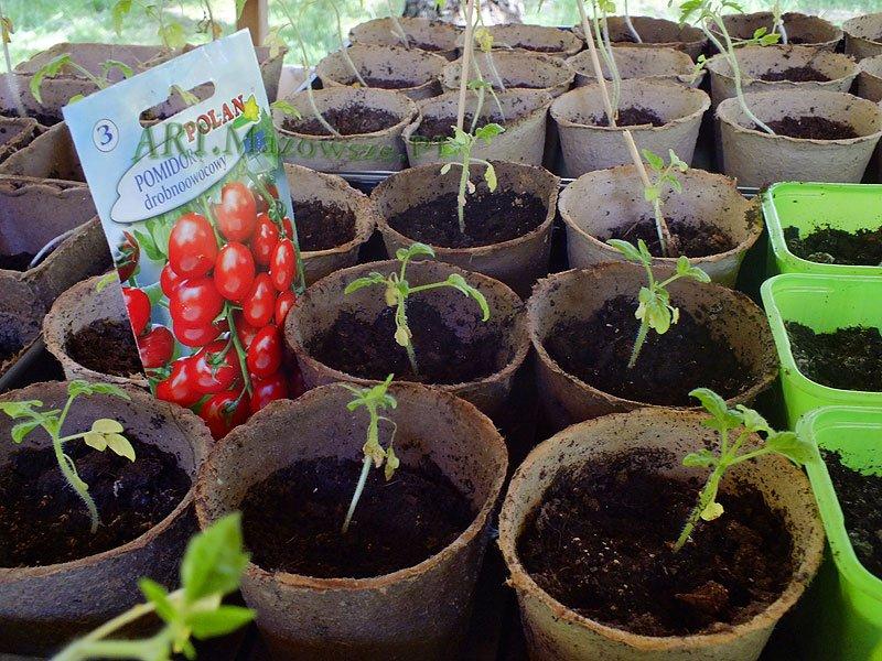 Amatorska Uprawa Pomidorów