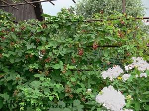 Mocny stelaż jest niezbędny do utrzymania rośliny