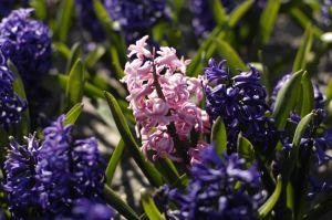 hyacinth-1-757887-m